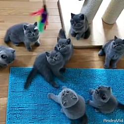 پرورش و فروش انواع گربه اسکاتیش ۰۹۲۱۶۰۳۷۹۲۶