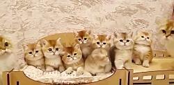 بچه گربه های بریتیش گولد چین چیلا ۰۹۳۶۸۳۰۲۹۸۸ و ۰۹۲۱۶۰۳۷۹۲۶ و ۰۹۱۲۲۰۸۴۱۰۴