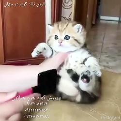 فروش بچه گربه های اپارتمانی ۰۹۳۶۸۳۰۲۹۸۸