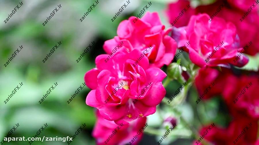 فوتیج بوته گل رز
