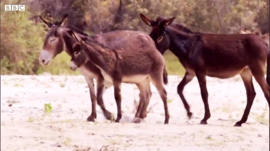 دنیای حیوانات - حمله بی رحمانه شیرهای جوان به گله الاغ ها - Young lions attack