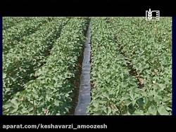 مدیریت آبیاری در زراعت پنبه