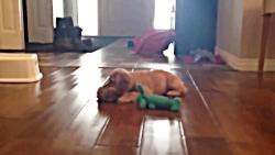 توله کوکر اسپانیل در حال بازی کردن
