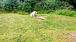 سگ نژاد فینیش لپهاند