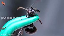 درد نیش این مورچه دقیقا با درد گلوله خوردن برابری می کند
