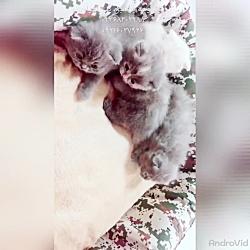 بچه گربه های نژاد اسکاتیش ۰۹۳۶۸۳۰۲۹۷۷