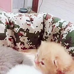 فروش بچه گربه های لاکچری و اپارتمانی ۰۹۳۶۸۳۰۲۹۸۸