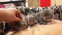 بچه گربه های اپارتمانی و کوچولو ۰۹۳۶۸۳۰۲۹۸۸
