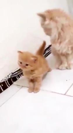 فروش بچه گربه گارفیلدی ۰۹۳۶۸۳۰۲۹۸۸