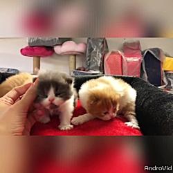 بچه گربه های جیبی و لاکچری ۰۹۳۶۸۳۰۲۹۸۸