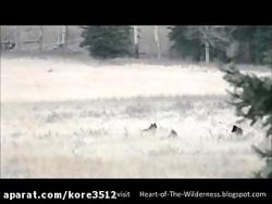 Wolf صدای گرگ