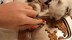 غذا خوردن توله های سه هفته ای پیکینیز !