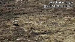 مستندزیبا از شکارخرگوشها توسط گرگها
