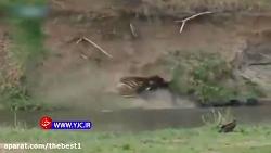 صحنه نادر از دزدی تمساح گرسنه از شیر جنگل در حیات وحشی