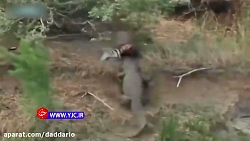 دزدیدن غذای سلطان جنگل توسط تمساح غول پیکر