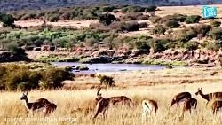 حمله بابون ها به یوزپلنگ برای نجات آهو (قسمت اول)