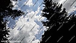 فوتیج نمای رو به آسمان در بین درختان کاج