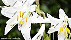 مجموعه فوتیج از باغ گل لیلیوم