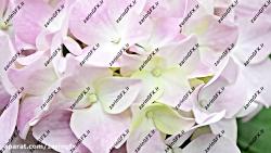 مجموعه فوتیج از گل های صورتی