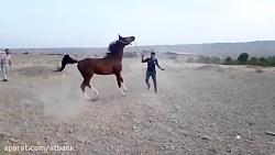 """"""" والی خوزستان """" اسب عرب اصیل خالص ایرانی"""