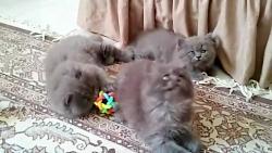 فروش بچه گربه های پرشینکت بلو اشرافی ۰۹۳۶۸۳۰۲۹۸۸