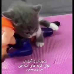 فروش انواع گربه های اشرافی ۰۹۳۶۸۳۰۲۹۸۸