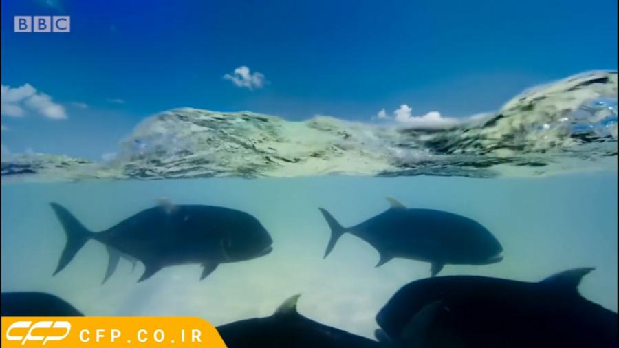 حیات وحش ترسناک: شکار پرنده توسط ماهی خوفناک (حتما ببینید)