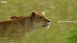 کلیپی مهیج و دیدنی از شکار گراز توسط شیر ماده