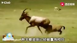 شکار گوزن توسط کفتار