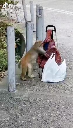 پرتقال دزدیدن میمون