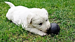 توله سگ نژاد کووزا