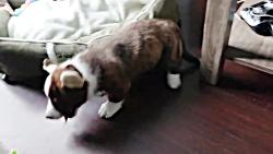 سگ دوست داشتنی کاردیگان ولش کورگی
