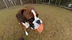 سگ باکسر در حال بازی کردن