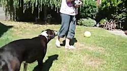 توله سگ نژاد باکسر