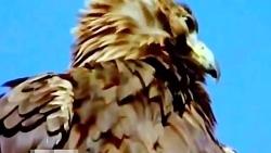 شیوه شکار بیرحمانه عقاب و غرور دیدنی اون بعد نشستن روی شکار...