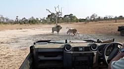 جنگ شیرها در مالامالا