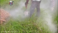 طرز شکار وحشیانه موش با آتش و دود در داخل مزرعه برنج با کیفیت SUPER FULL HD