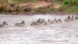 Great Migration River Crossing Masai Mara, Kenya - Zebras Wildebeestis
