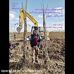 ایران گردو | برداشت نهال گردو پیوندی از بزرگترین نهالستان گردو | درخت گردو