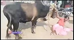 حمله گاو خشمگین به زن جوان