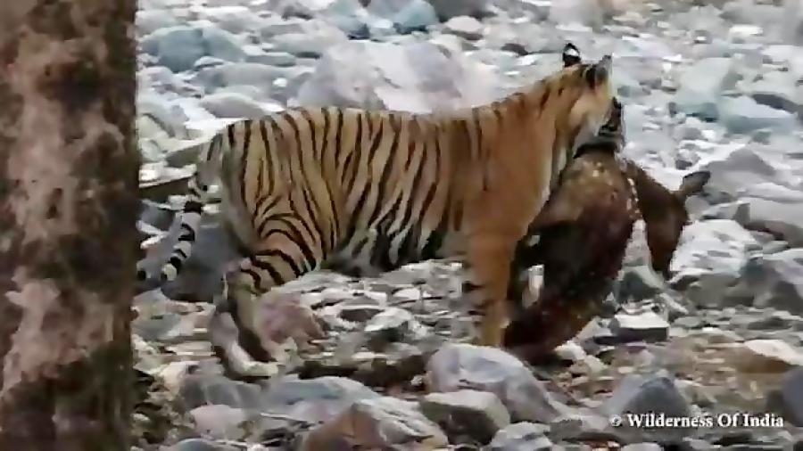 شکار گوزن توسط ببر | ببر مقابل گوزن