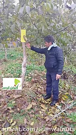 بازدید از محل پیوند درختی که سه سال قبل توسط ایران گردو سرشاخه کاری شده