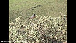 تعدادی از پرندگان زیبای ایران- حیات وحش ایران