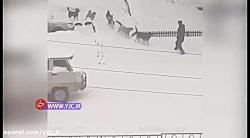 حمله وحشتناک ۸ سگ به یک عابر پیاده