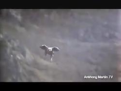 عقاب در برابر روباه کدومش برنده میشه