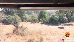 شکار حیرت انگیز ایمپالا توسط پلنگ در یک چشم به هم زدن...
