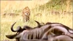 یوزپلنگ با سرعتی شگفت آور به سمت کل یالدار حمله می کند