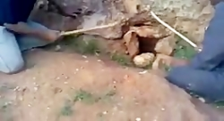 بیرون کشیدن چوله با سگ شکاری و شکارش با چوب