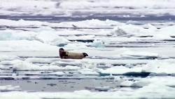 شکار ناگهانی خوک آبی توسط خرس قطبی