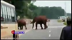 هجوم ناگهانی فیلها اتوبان را بست